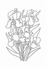 Coloring Bouquet Iris Flowers Flower Sheet Clipartqueen sketch template