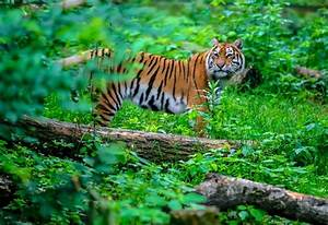 Tigers still have enough habitat to bounce back | MNN ...