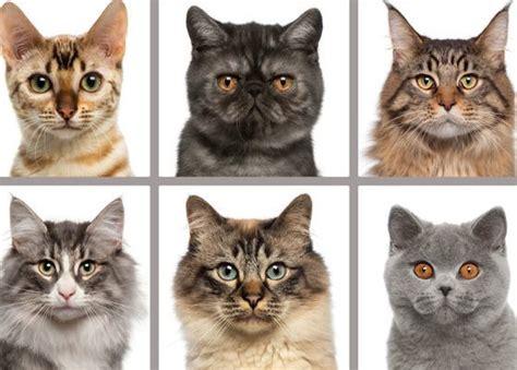 Vai pazīsti šīs kaķu šķirnes? - Whisker
