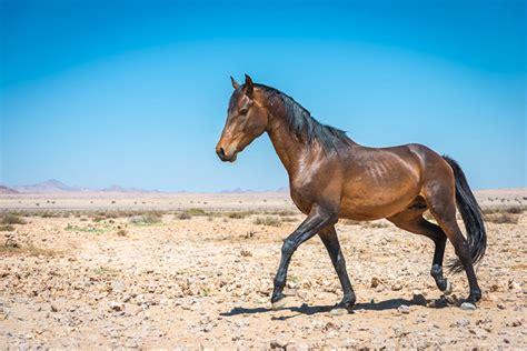wild horses horse namibia namib information aus stallion africa read