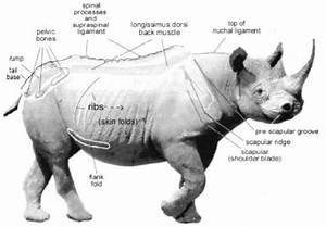 Diagram Showing Black Rhinos Body Regions