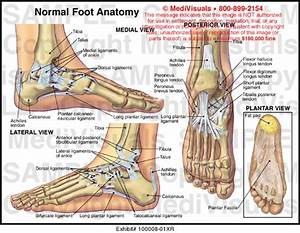 Medivisuals Normal Foot Anatomy Exhibits