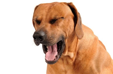dog asthma symptoms treatment  natural home remedies