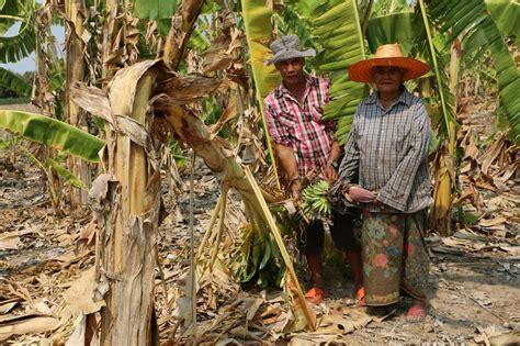แล้งทำพิษ! สวนกล้วยกำแพงเพชรขายไม่ออก ต้นกล้วยคอหัก ออก ...