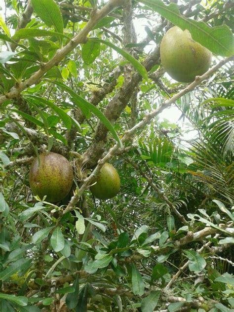 Puerto Rico Corazon Fruit Tree