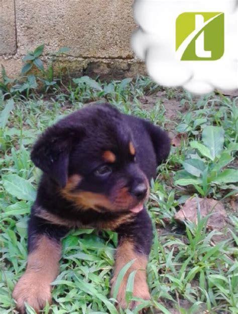 rottweiler puppies  sale  jamaica kingston dogs