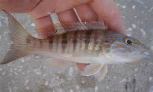 Florida Sand Perch Fish