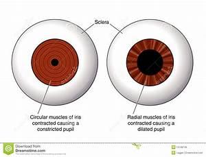 Iris Of The Eye Stock Vector  Illustration Of Anatomy