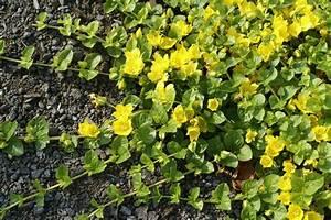 Couvre Sol Vivace : les plantes couvre sol syndicat mixte de production d ~ Premium-room.com Idées de Décoration