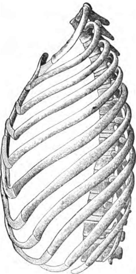 structure   thorax