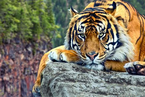 wildlife   world tiger desktop wallpapers hd