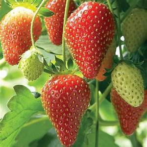 STRAWBERRY SEEDS (Fragaria ananassa) bright red fruit has ...