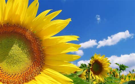 Zonnebloemen Achtergronden Hd Wallpapers HD Wallpapers Download Free Images Wallpaper [1000image.com]