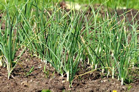 knoblauch selber ziehen pflanzen und ernten wiressengesund