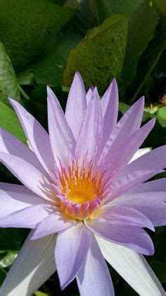 lotus flowers lily pads images   flowers
