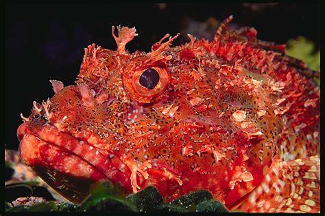 scorpionfish fish scorpion fishes lanzarote poisonous sea marine body cardinalis scorpaena ocean meters depth zealand underwater