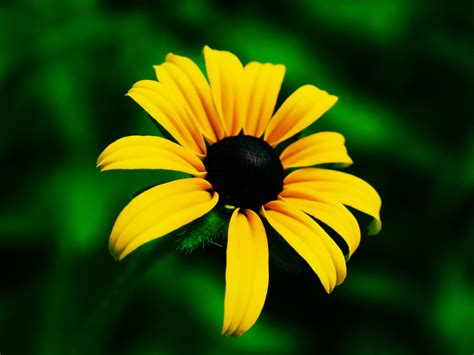 black eyed susan black eyed susan meaning