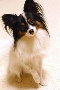 papillon dogs 101&page=2