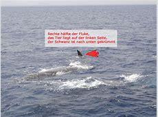 Auch die Pottwale sind da! Wale und Delfine in der