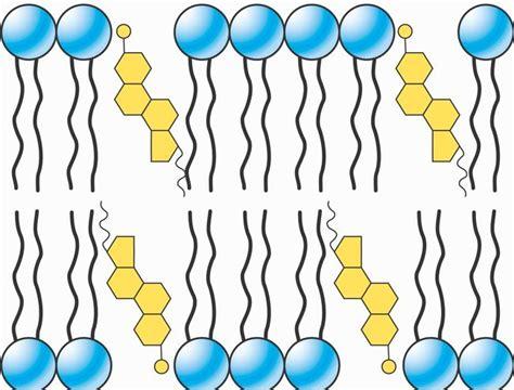 eubacteria  eukarya membrane structure  based