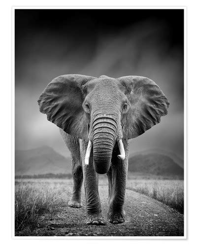 Elephant on black background Posters and Prints