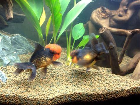 maladie des poissons rouges d aquarium aquarium 224 poissons rouges oranda poissons tropicaux