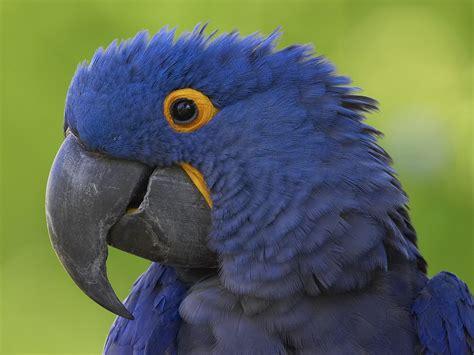 macaw bird flying animal hyacinth macaw