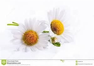 Art Daisies Spring White Flower Isolated On White ...
