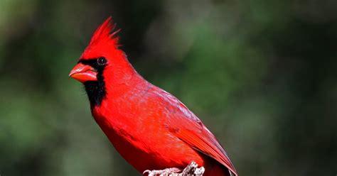 wild life cardinal birds wallpaper wild birds