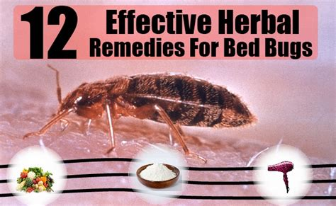 Bed Cure by 12 Herbal Remedies For Bed Bugs How To Cure Bed Bugs