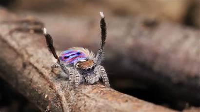 Spider Peacock Spiders Dancing Average Space Gifs