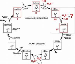 Reaction Scheme For Nos Enzymes  Some Steps Involved In