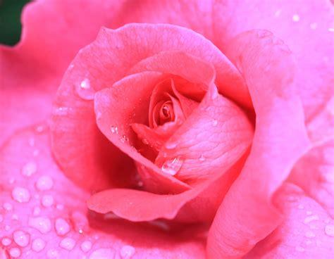 picture flora petal rose pastel nature dew flower