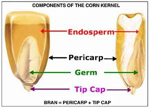 Components Of The Corn Kernel  Source