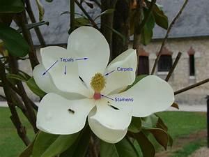 Anatomy Of A Magnolia Blossom