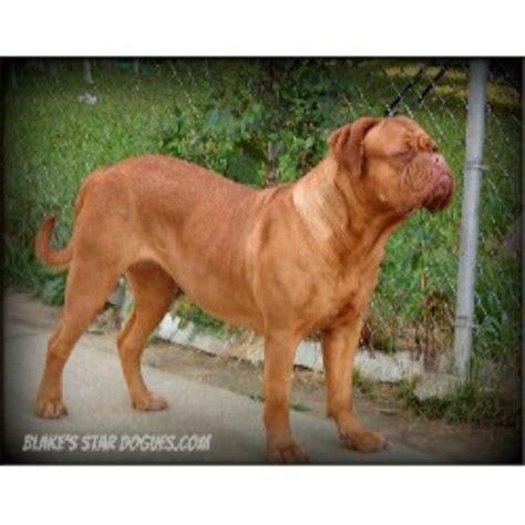 Blakes Star Dogues Dogue De Bordeaux Breeder In Detroit