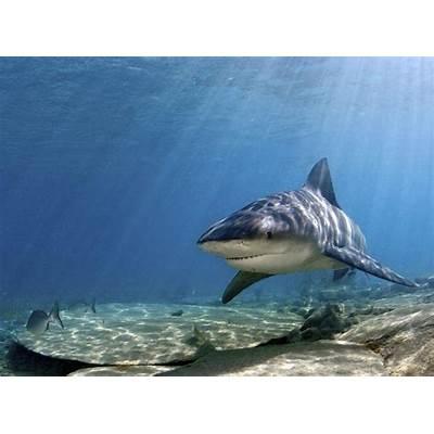 SharkThe Biggest Animals Kingdom
