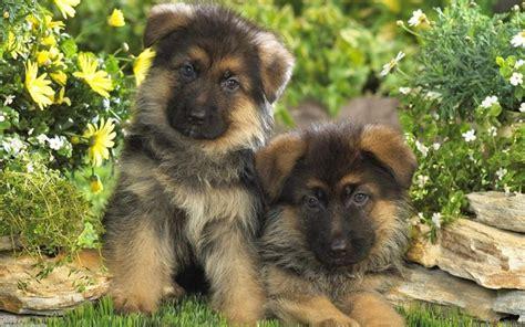 Cucciolo Pastore Tedesco Alimentazione Cuccioli Di Pastore Tedesco Cuccioli Cani