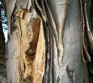 Лечение диабета кора осины