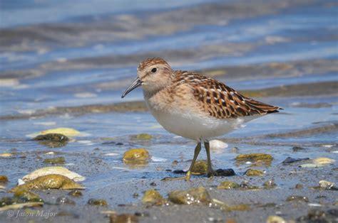 least sandpiper rhode island bird hunter