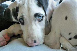 Future dog. Harlequin great dane puppy with blue eyes.