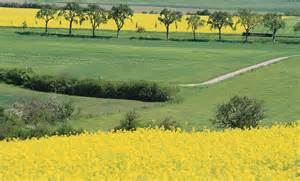 What Are Tuscany Fields Colza