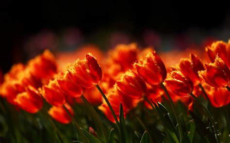 Flowers Field Tulips Nature Hd Desktop Wallpapers 4k Hd