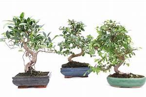 Pflege Bonsai Baum Indoor : indoor bonsai zimmerbonsai und ihre spezielle pflege ~ Michelbontemps.com Haus und Dekorationen
