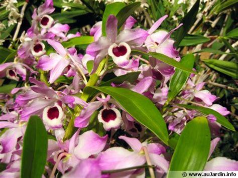cuisiner du gibier orchidée bambou dendrobium nobilé dendrobium nobile