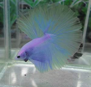1000+ images about Betta on Pinterest | Copper, Auction ...