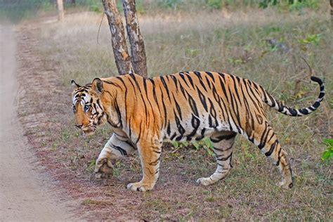 Your Favorite Prime Wild Tiger Animal Forums