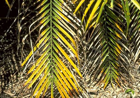 magnesium deficiency  pygmy date palm phoenix