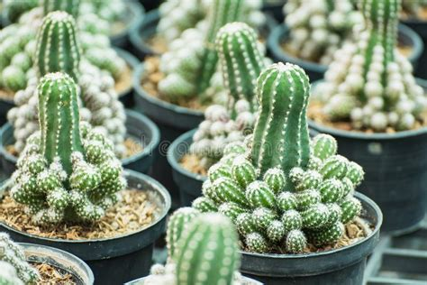Group Of Small Cactus Plant In The Pot At Cactus Garden ...