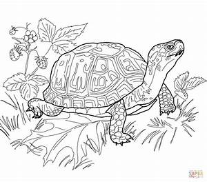 Eastern Box Turtle Coloring Page Free Printable Coloring